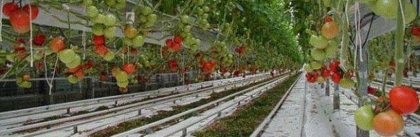 tomato-greenhouse_610.jpg
