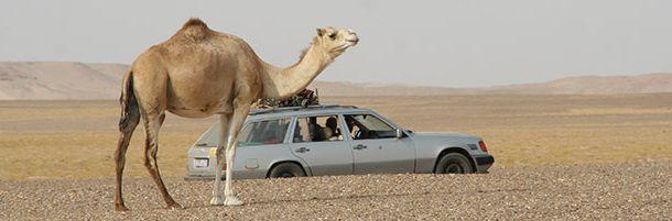 camel_b.jpg